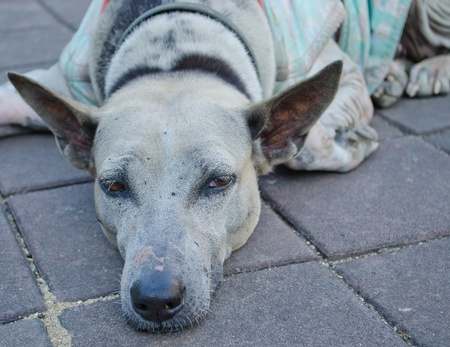 The neglected or abandoned Old  sad dog in the temple