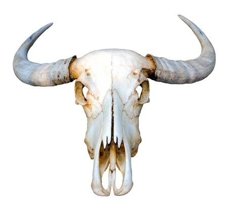 Thai water buffalo skull on white background, Isolated  Stock Photo