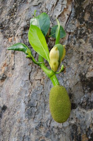 Thai Jackfruit in Chiangmai, Thailand