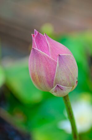 Thai Pink sweet water lily