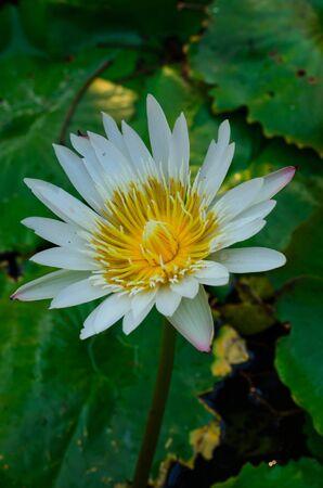 Thai white Lotus