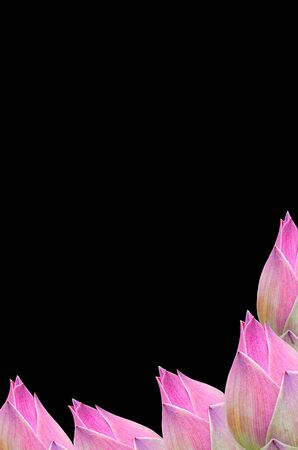 Thai Pink sweet water lily on Black, Isolate, background