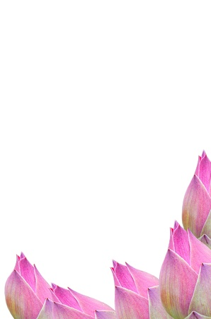 Thai Pink sweet water lily on White, Isolate, background Stock Photo - 12772369