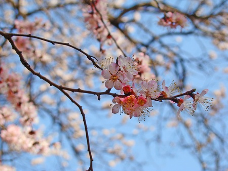 flor de durazno: cerezo en flor lleno