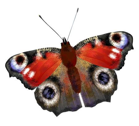 peacock butterfly: illustration of   European Peacock butterfly Illustration