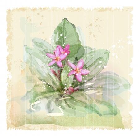 pink plumeria: Frangipani flower (plumeria). Watercolor style.
