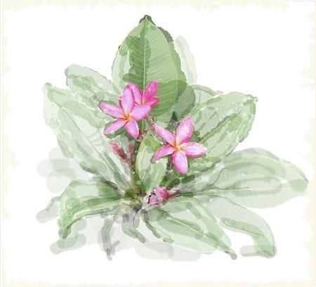 pink plumeria: Frangipani flower  plumeria   Watercolor style