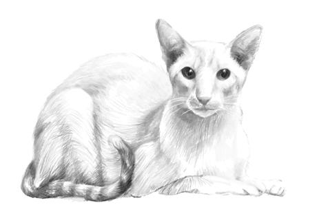 Sketch of the purebred cat. Illustration