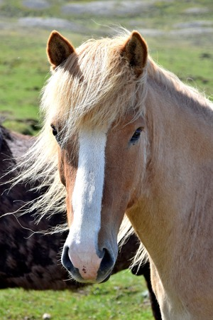 Portrait of Icelandic horse in the northwest of Iceland 스톡 콘텐츠 - 103367369