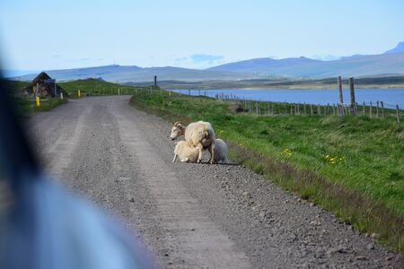 Sheep can be expected on Icelandic roads