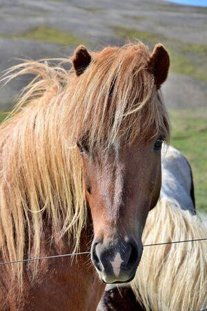 Portrait of an Icelandic horse - flaxen chestnut Stock Photo