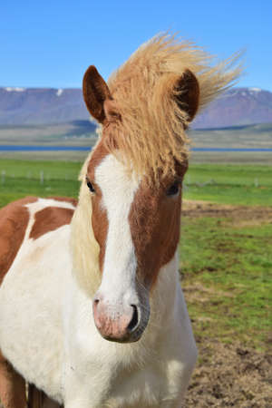 Portrait of a young Icelandic horse in Iceland - Pinto 스톡 콘텐츠 - 98666428