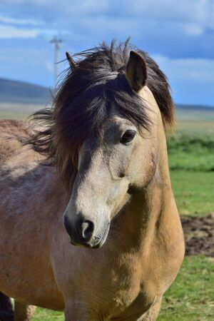 Portrait of an Icelandic horse in Iceland