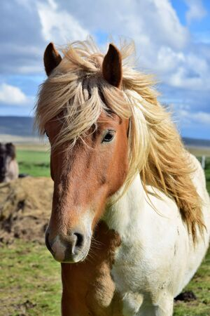 Portrait of an Icelandic horse in Icelad - Pinto