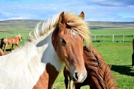 Portrait of an Icelandic horse in Iceland near Bloenduos, Pinto