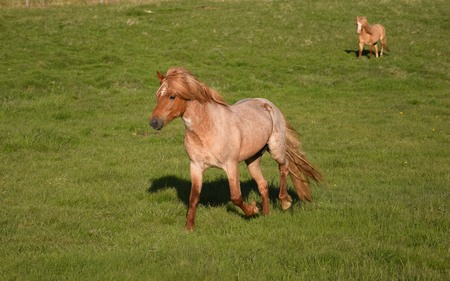 Icelandic horse at a pace. Red roan. Stallion. Northwest of Iceland, near Blönduos.