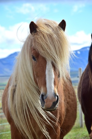 Portrait of an Icelandic horse. Flaxen chestnut with blaze. Northwest of Iceland, near Blönduos.