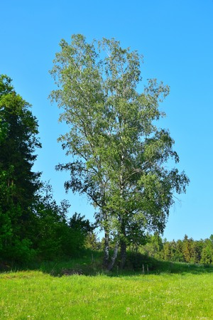A single birch tree. Landscape in Bavaria, upper palatinate, county of Cham, Germany. Imagens