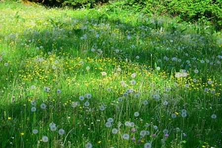 A flowery meadow with dandelions and buttercups in Bavaria. Banque d'images - 108211164