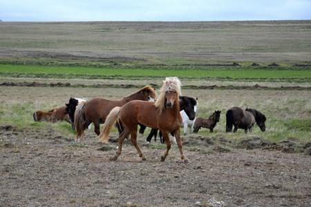 Icelandic stallion with his herd. Flaxen chestnut. Iceland. 스톡 콘텐츠