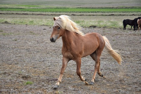 Icelandic stallion at a trot. Flaxen chestnut. Iceland.