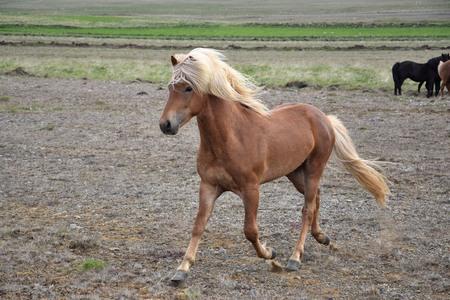 Icelandic stallion at a trot. Flaxen chestnut. Iceland.