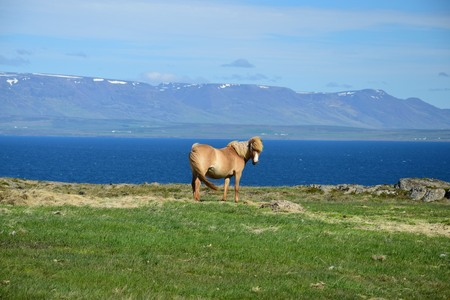 Icelandic horse with the ocean and mountains in the background. Iceland, peninsula Vatnsnes. 스톡 콘텐츠 - 108211743