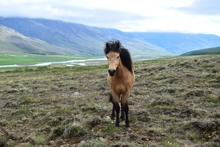 Icelandic horse in rough Icelandic landscape. Bay.