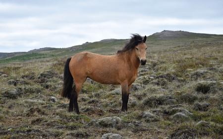 Icelandic horse in rough Icelandic landscape. Bay.