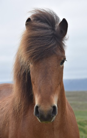 Portrait of an Icelandic horse. Bay.