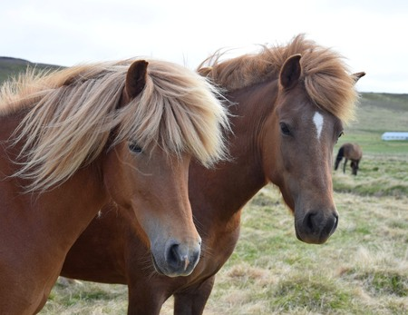 Portrait of two Icelandic horses. Chestnut and flaxen chestnut.