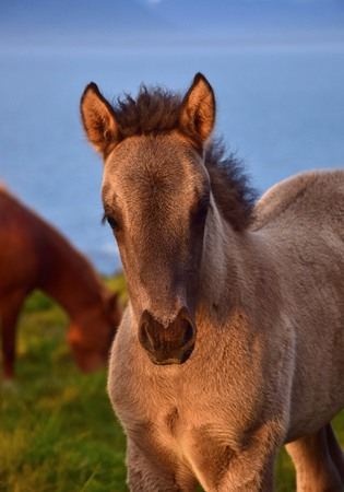 Portrait of a cute Icelandic dun foal in the midsummer sun in Iceland