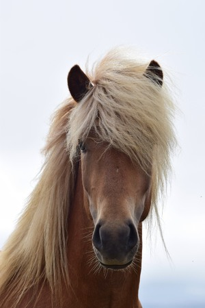 Portrait of a beautiful Icelandic stallion. Flaxen chestnut.