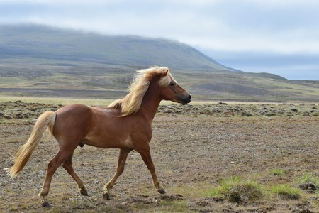 Beautiful Icelandic stallion at a trot, with Icelandic landscape in the background. Flaxen chestnut. 스톡 콘텐츠