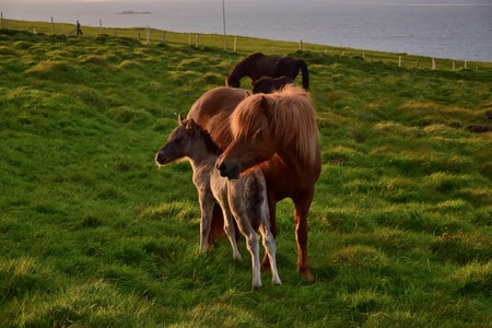 Icelandic mare with her foal in the Icelandic midsummer night. The sun shining in from the side. Imagens