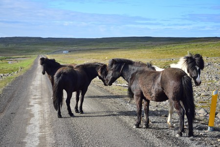 In remote parts of Iceland you may expect free running horses, even on the gravel road. Here is a group of horses standing on the road.