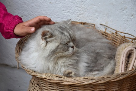 A childs hand caressing a silver tabby persian cat, lying in a basket. Stok Fotoğraf