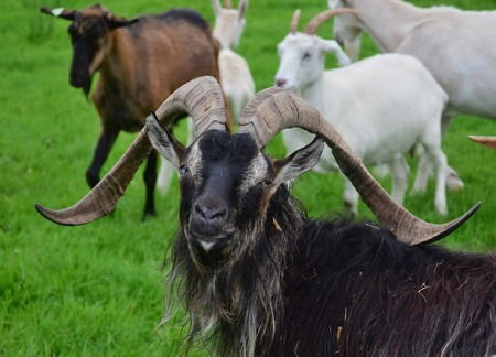 Portrait of an impressive male goat, blind in one eye, with long horns and long coat. Other goats in the background.
