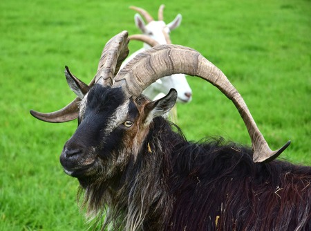 Portrait of an impressive male goat with horns. Ireland.