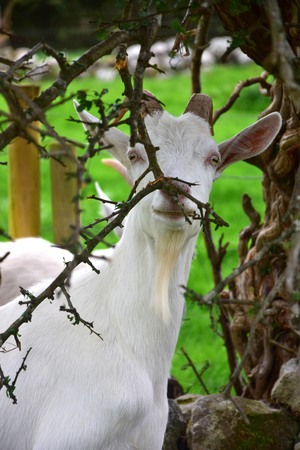 A white goat nibbling on branches. Ireland.