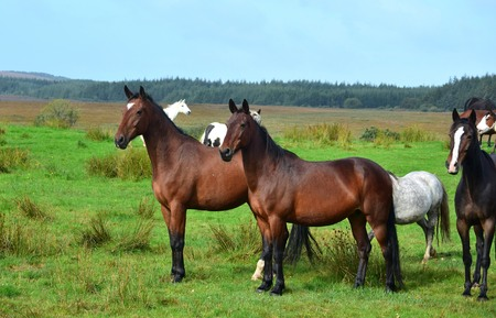 Horses on a meadow in Ireland. Two bay horses in front, looking attentively, other horses in the background. Irish landscape in the background.