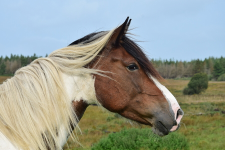 Portrait of a beautiful pinto horse in Ireland. Landscape in the background.