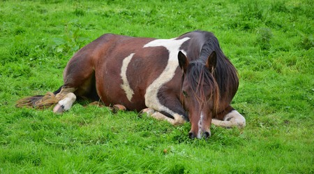 A relaxed piebald horse lying in the grass and grazing. Stock Photo