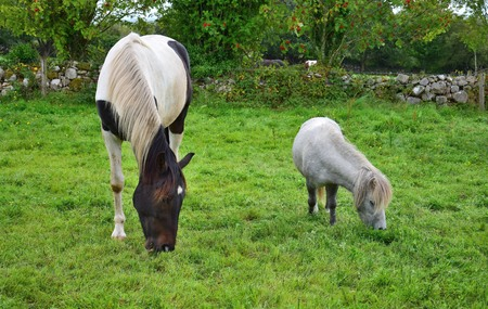 A small Shetland-pony and a big pinto horse grazing side by side on a meadow in Ireland.