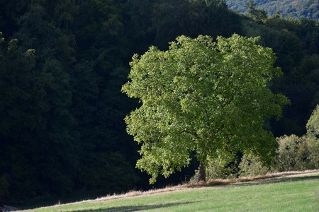 A walnut tree in front of dark forest. Fischbachtal, Odenwald, Germany.