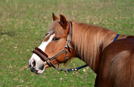 Portrait of a horse, flaxen chestnut, looking back to the photographer,