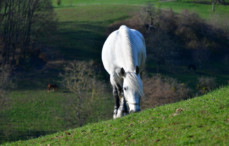 A gray horse on a meadow in an early springtime landscape in the Odenwald. Near Rippenweier, Weinheim, Baden-Württemberg, Germany.