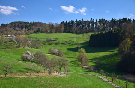 An early springtime landscape with some white flowered trees and a curved trail in the Odenwald near Rippenweier, Weinheim, Baden-Württemberg, Germany.