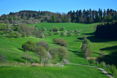 A spring landscape with some white flowered trees and a curved trail in the Odenwald near Rippenweier, Weinheim, Baden-Württemberg, Germany. 写真素材