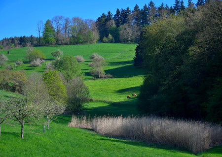 A spring landscape with some white flowered trees and some reed in the Odenwald near Rippenweier, Weinheim, Baden-Württemberg, Germany.